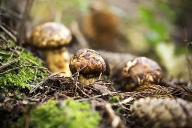 松茸:菌中之王 能吃到新鲜的人都是幸运的